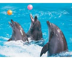Dolphin Show VIP Ticket for Sale in Dubai
