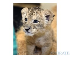 young exotics cubs available (lion,tiger,cheetah,leopard etc)